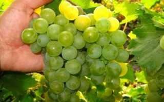 Виноград «Дружба»: особенности сорта, уход и выращивание