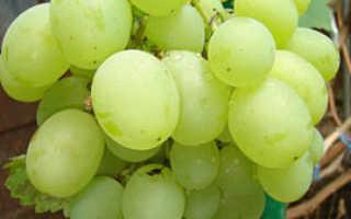 Виноград Талисман: описание сорта, выращивание и уход, отзывы
