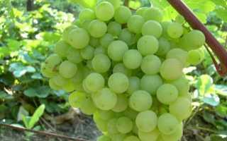 """Виноград """"Супага"""" – характеристика сорта, описание особенностей ухода"""