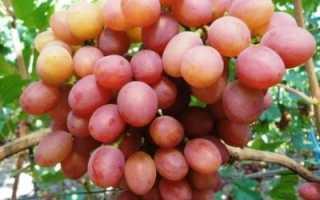 Виноград Гелиос – описание сорта, выращивание и отзывы с фото
