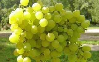 Виноград Алешенькин Дар: описание сорта, уход и выращивание