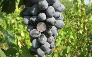 """Виноград """"Фуршетный"""": описание сорта, выращивание и уход"""