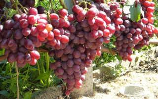 Виноград Памяти Учителя: что нужно знать о нем, описание сорта, отзывы