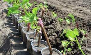 Виноград в первый год после посадки: как утеплять, уход. формирование и обрезка