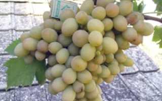 Виноград Бируинца: описание и характеристика сорта, уход
