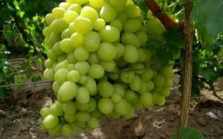 Виноград Ланселот – описание и характеристика гибридного сорта с фото и отзывами