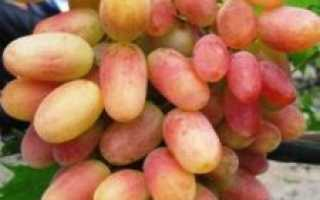 Виноград Анжелика (Ксения):  характеристика и описание сорта с фото и отзывами