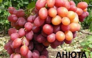Виноград Анюта: характеристика и описание сорта, уход, выращивание и отзывы