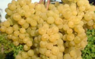 Виноград Русбол (Кишмиш Мираж): описание сорта, выращивание и уход, отзывы и фото