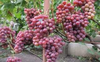 Виноград Рубин: что нужно знать о нем, описание сорта, отзывы