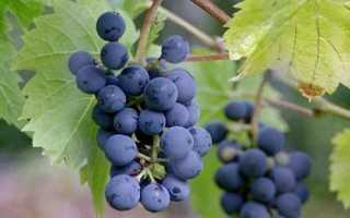 """Описание винограда """"Леон Мийо"""": характеристика сорта и фото урожая"""