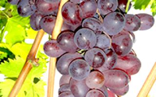 """""""Марадона"""" – подробное описание сорта винограда"""