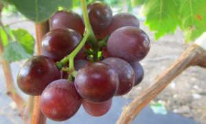 Описание сорта винограда Сеня: характеристика, фото и отзывы