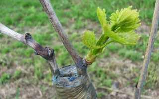 Прививка винограда на старый куст весной – сроки и как прививать
