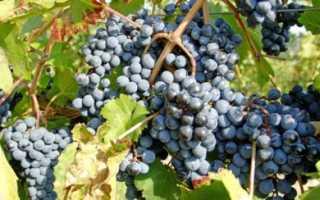 Виноград Пино Нуар: что нужно знать о нем, описание сорта, отзывы