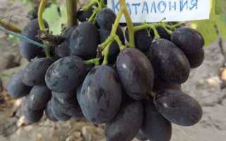 """Виноград """"Каталония"""": характеристика и описание особенностей неприхотливого сорта"""