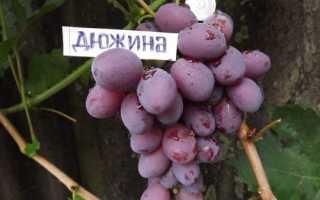 Виноград Дюжина – описание особенностей и характеристики сорта