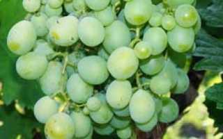 Горошение винограда: причины почему горошится виноград
