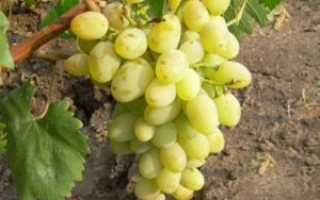 Виноград Гарольд: описание сверх раннего сорта, уход и выращивание