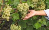 Сорт винограда «Золотой Потапенко»: характеристика и описание с фотографией гроздей