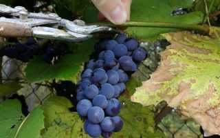 Когда и как собирать урожай винограда: для вина и не только