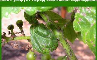 Антракноз винограда лечение и профилактика