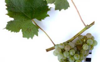 """Виноград """"Цветочный"""" – характеристика и описание сорта, особенности выращивания и отзывы"""