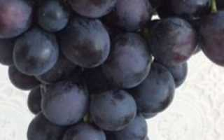 Виноград Муромец: описание сорта, выращивание, уход и фото