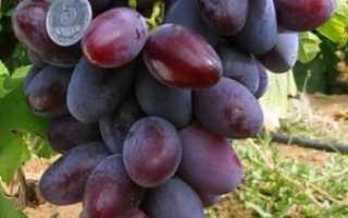 Виноград Атаман: характеристика сорта, описание его достоинств и недостатков