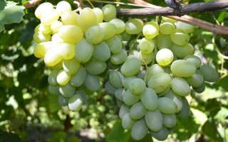 Сорт винограда Подарок Запорожью новый: что нужно знать о нем, описание сорта, отзывы