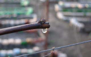 Виноград плачет весной после обрезки: причины, чем это опасно для лозы и как остановить
