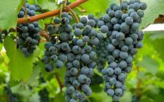 Виноград на Урале – как укрыть на зиму, выращивание и обрезка