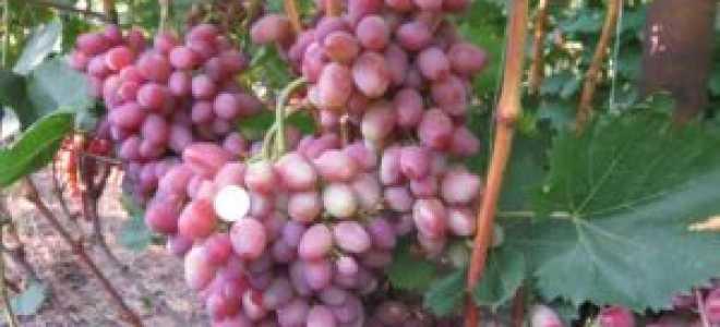 Виноград Парижанка: что нужно знать о нем, описание сорта, отзывы