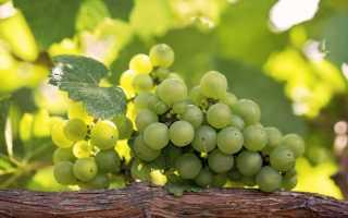 Чем полезен виноград для организма – свойства, витамины, польза и вред