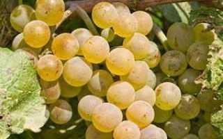 Виноград Поклингтон (Pocklington): что нужно знать о нем, описание сорта, отзывы