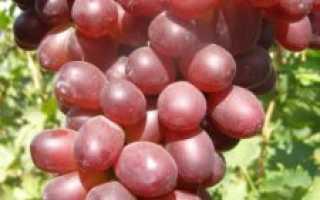 Виноград Нина: описание особенностей и характеристика сорта