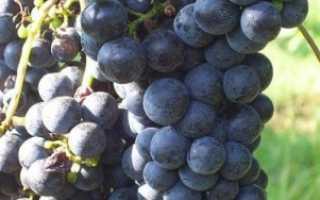 Виноград «Мерло»: описание особенностей сорта с отзывами и фото урожая