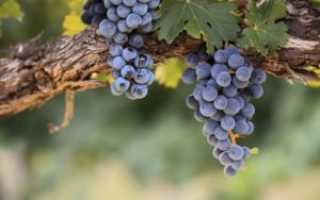 Когда собирать виноград Изабелла для вина в средней полосе и в подмосковье