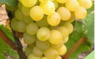 """Виноград """"Ананасный"""" – особенности ягод и условий выращивая"""