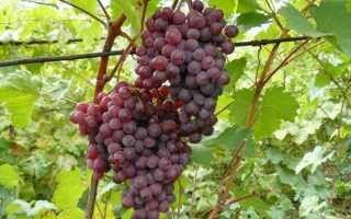 Виноград Ромео: что нужно знать о нем, описание сорта, отзывы