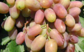 Виноград Виктор: описание сорта, уход и выращивание, отзывы