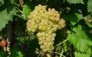 """Виноград """"Кишмиш 342"""": описание и характеристика сорта, особенности ухода и отзывы с фото гроздей"""