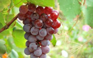 Вино из Лидии в домашних условиях: рецепт приготовления